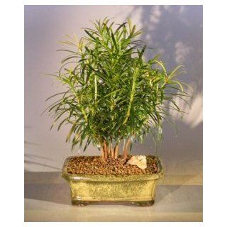 Bonsai Boys Podocarpus Bonsai Tree   Forest Group Style